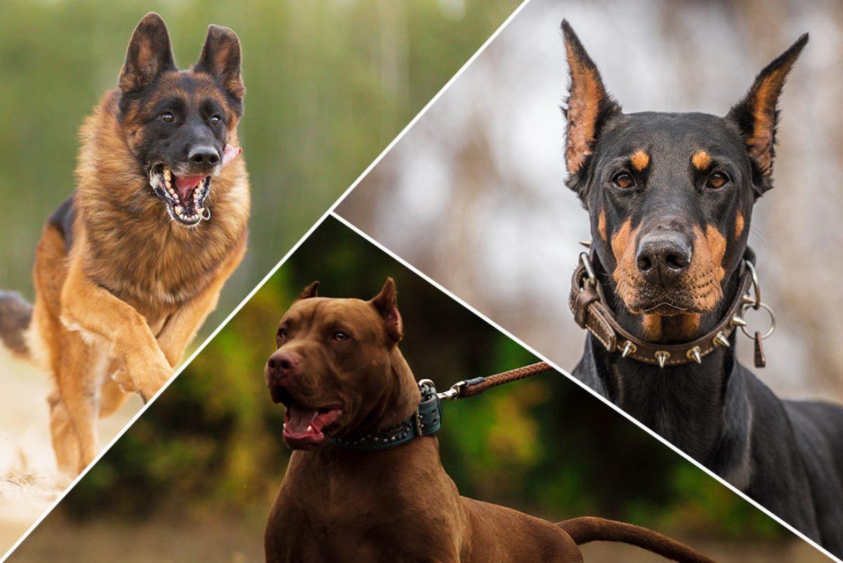охранные породы собак